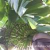 广东省高州市南塘镇财旺香蕉代收站